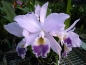 Preview: Cattleya labiata coerulea 'Natural World x self