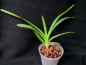 Mobile Preview: Vanda florescens plant.JPG
