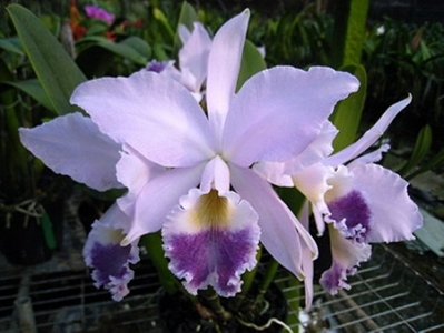 Cattleya labiata coerulea 'Natural World x self