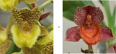 Clowesia Jumbo Lace x Catasetum denticulatum'Orange Lip'