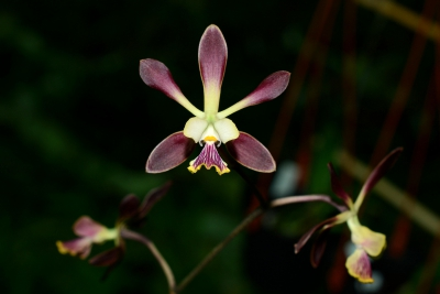 Encyclia alata x  dickinsoniana