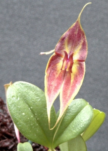 Lepanthes closii x helgae