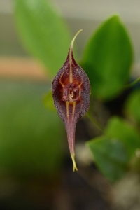 Lepanthes inca