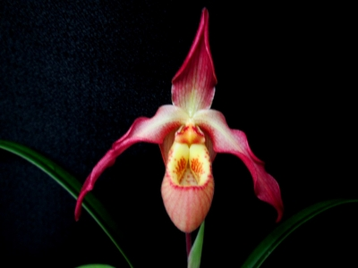 Phragmipedium Olaf Gruß