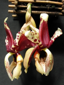 Stanhopea nigroviolacea 'Black Tiger ' AM AOS  x self