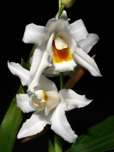 Coelogyne Memoria William Micholitz