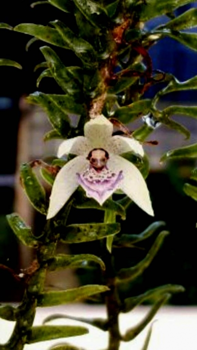 Dichaea species (Mexico)