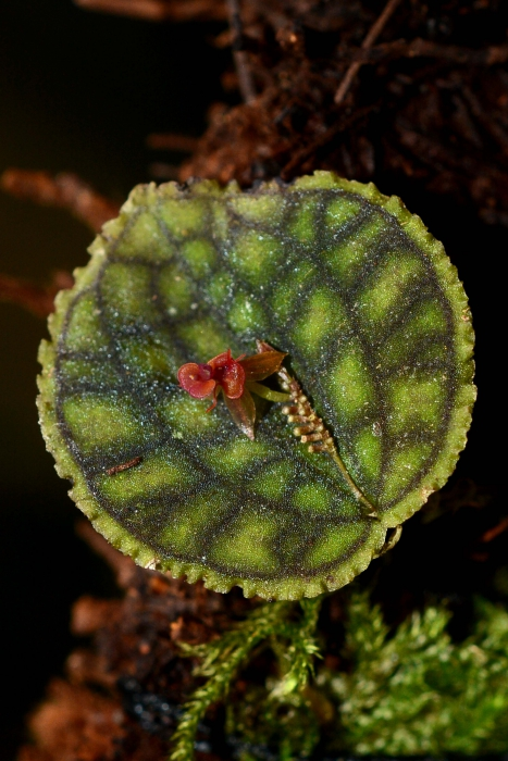 Lepanthes calodictyon.jpg