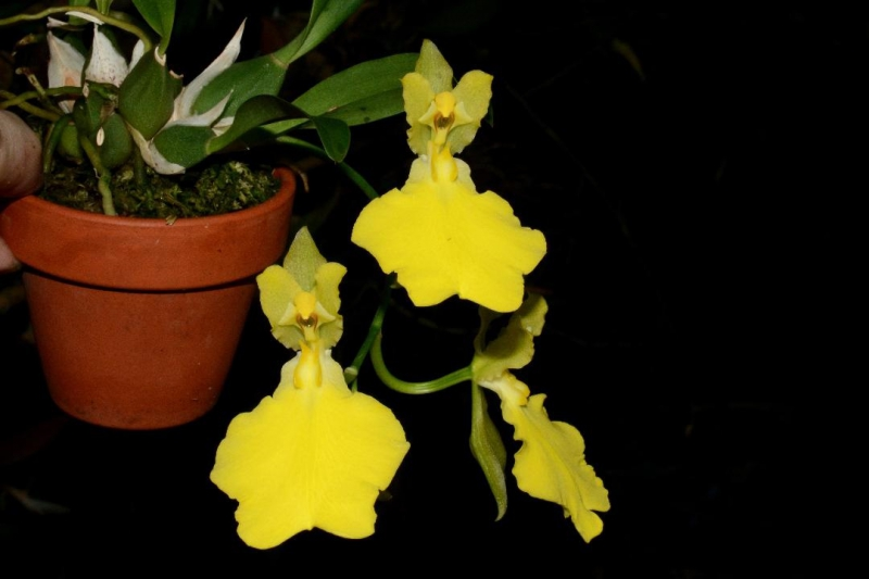Oncidium concolor