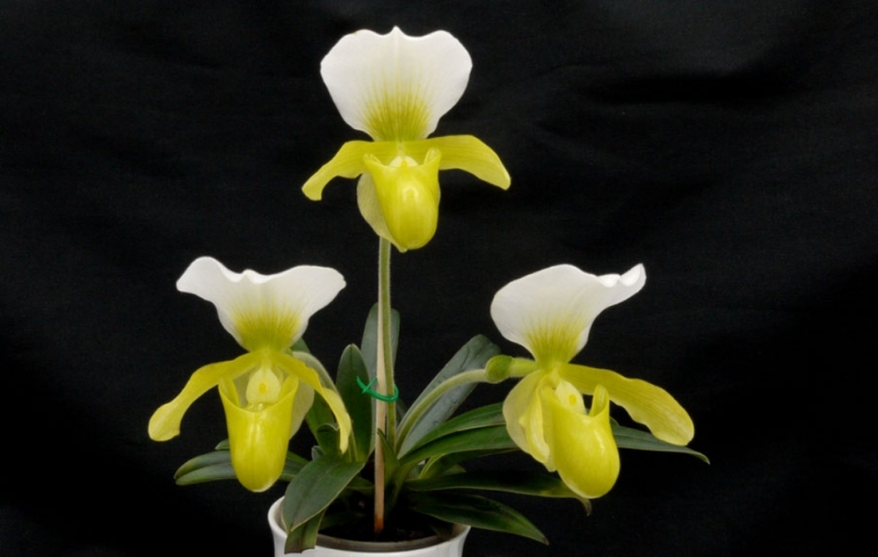 Paph. GreenCharlene.jpg