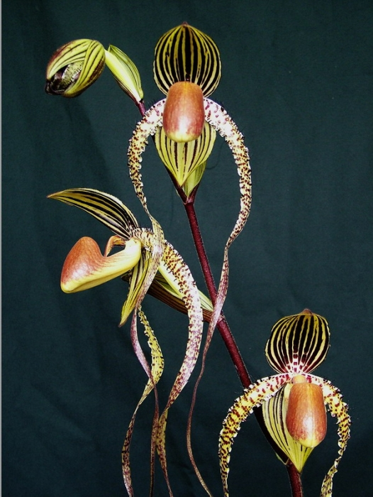Paph. Prince Edward of York.