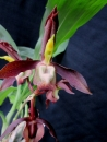 Catasetum incurvum x Ten Dragons' Night Wasp'