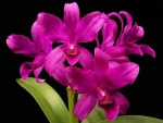 Cattleya bowringiana Dark self